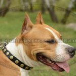 American Staffordshire Terrier Collar Brass Studded Thin Leather