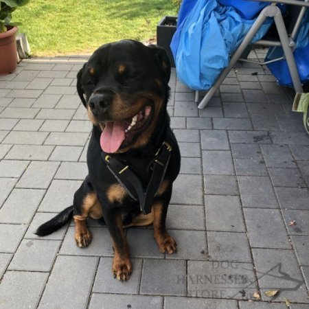 Rottweiler Harness of Leather for Attack and Protection Training