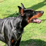 "Leather Dog Harness ""Barbed Wire"" for Doberman Pincher Padded"