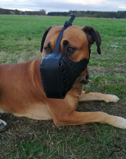 Boerboel Muzzle of Durable Leather for Agitation Training