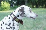 Gorgeous Dalmatian Collar with Brass Plates for Perfect Look