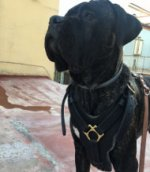 Cane Corso Harness of Leather, Extra Strong and Luxury Looking