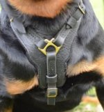 Rottweiler Harness, Leather Padded with Large Chest Plate