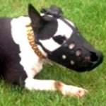 English Bull Terrier Muzzle of Leather, Anti-Barking Model