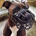 Amstaff Pitbull Mix Dog Muzzle of Rubber Covered Steel Wire