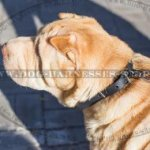 Shar-Pei Puppy Collar of Narrow Leather for Comfortable Walking