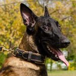Royal Dog Collar Nappa Padded Leather for Belgian Shepherd