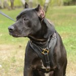 Exclusive Handcrafted Padded Leather Dog Harness for Pitbull