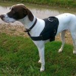 English Pointer Harness of Nylon for Walking, Training, Hunting