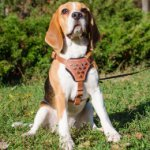 Stylish Small Dog Harness with Studded Chest Plate for Beagle