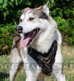 Padded Leather Dog Harness for West Siberian Laika, Soft