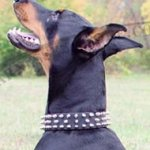 Doberman Leather Collar with Spikes for Walks and Training