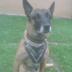 Malinois Harness with Barbed Wire Painting on