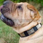 Shar-Pei Collar of Unique Design, Leather and Wide Nickel Plates