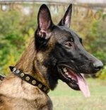 Fashion Dog Collar with Round Brass Studs for Belgian Malinois