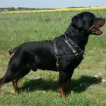 Rottweiler Harness Leather for Pulling, Training, Walking, Sport