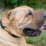 Shar-Pei Collar Leather Personalized with Name Plate