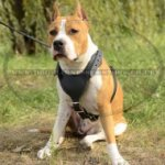 Working Amstaff Harness of Tough Leather with Padded Chest Plate
