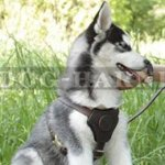 Husky Pup Harness of Leather with Small Chest Plate for Walking