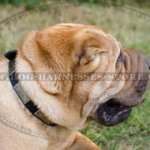 Shar-Pei Collar of Leather with Massive Nickel Plates in Vintage