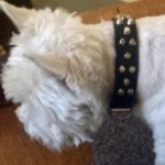 West Highland Terrier Collar of Leather with Decorative Cones