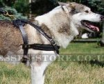 Dog Pulling Harness for West Siberian Laika, Super Strong