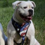 "American Bulldog Dog Harness ""American Flag"""