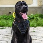 American Bandogge Mastiff Harness for Sport and Training