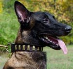 Trendy Dog Collar for Belgian Malinois, Wide Leather with Plates