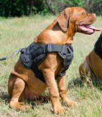 Nylon Dog Harness UK for Dogue de Bordeaux, Buy the Best Here