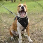 Amstaff Harness of Leather for Service Work, Training and Walks