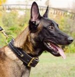 Bestseller! Braided Dog Collar for Belgian Malinois of Leather