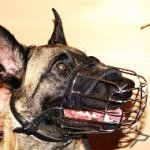 Best Dog Muzzle for Belgian Malinois Daily Activities