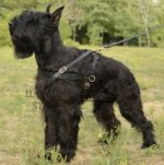 Leather Dog Harness for Large Dogs Like Schnauzer