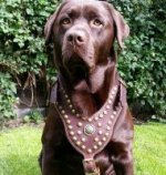 Labrador Harness, Luxury Studded Design and Top Quality for Lab