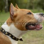 Amstaff Collar of Narrow Leather, Elegant Brass Studded Design