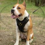 Staffy Harness of Thick Leather with Felt-Lined Wide Chest Plate