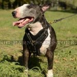 English Bull Terrier Leather Harness with Padded Chest Plate