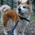 Akita Dog Leash of Genuine Leather, Exclusive Braided Design