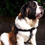Saint Bernard Dog Harness of Nylon with ID Patches, Bestseller!