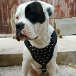 American Bulldog Harness for Walking of Leather with Pyramids