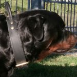 Rottweiler Collar of Two-Ply Leather with Handle for Control