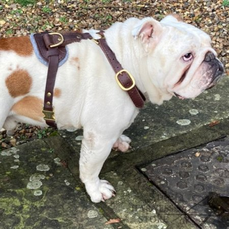 Bestseller! Handcrafted Leather Dog Harness of Luxury Design