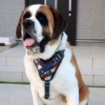 "St Bernard Dog Harness Leather ""American Pride"""