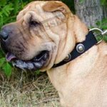 Shar-Pei Collar of Nylon in Vintage with Silver-Like Round Studs