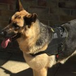 German Shepherd Harness Nylon for Multipurpose Use, Bestseller