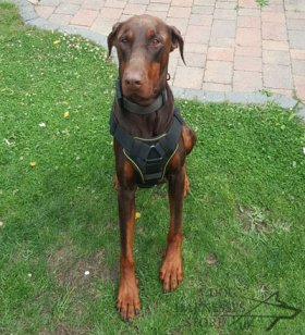 Training Harness for Doberman, K9 Chest Plate