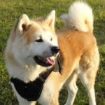 Dog Harness of Nylon with Handle for Akita Inu - Hachiko