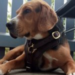 Best Harness for Beagle Mix Breed Training and Walking, Leather