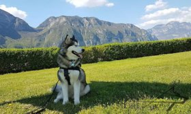 Bestseller! Nylon Dog Harness for Alaskan Malamute